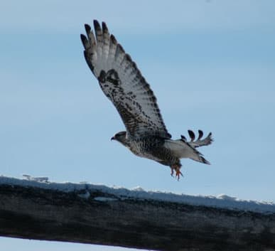 Hawk taking flight for a hunting spree on a beautiful winters day